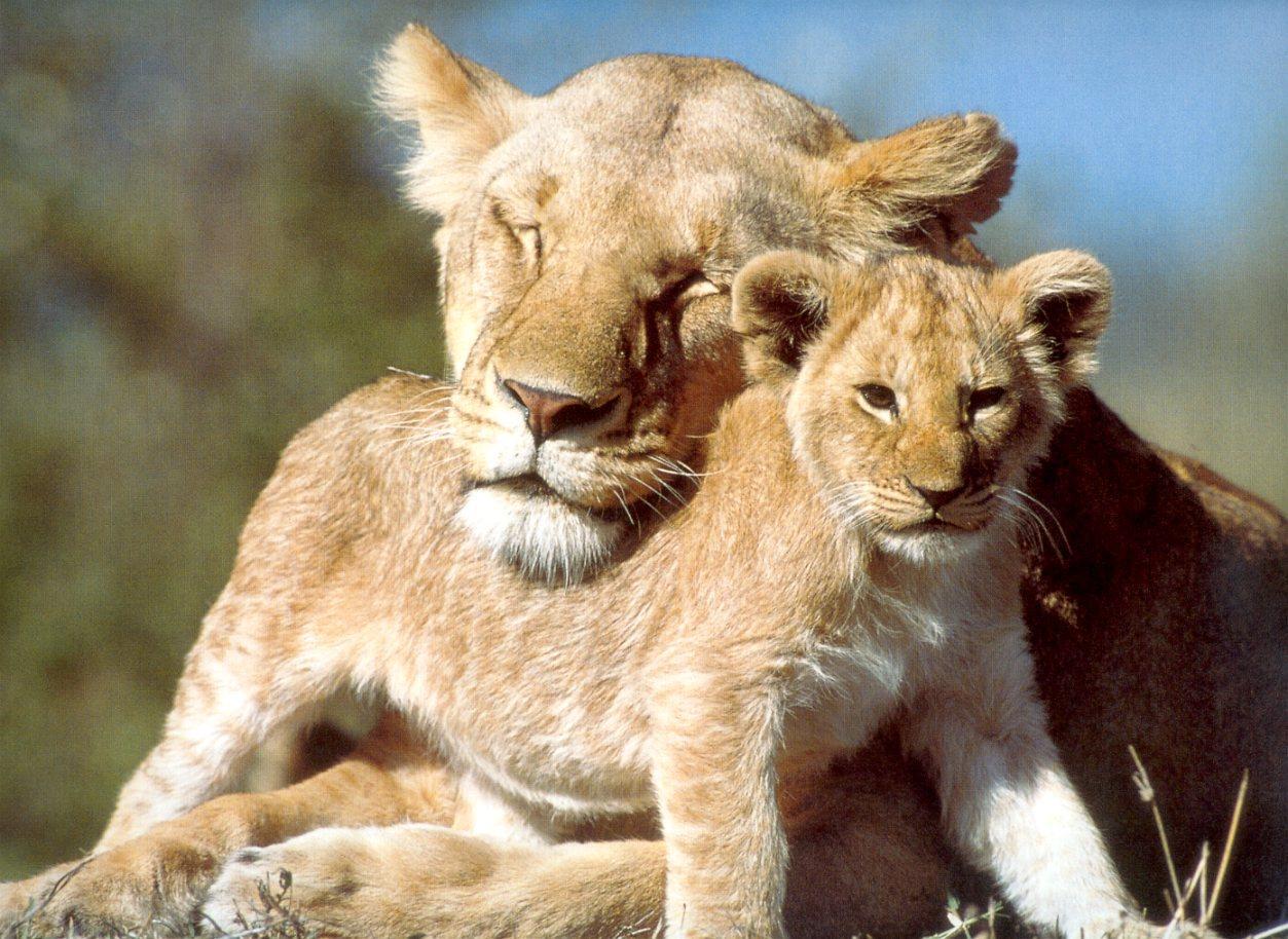 38770711-baby-lion